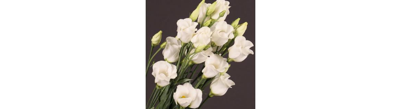 Lisiantus malokvetý